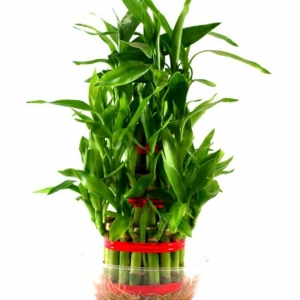Green-Plant-Indoor-Green-Bamboo-SDL748856966-1-4cee5